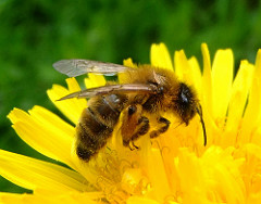 bees photo